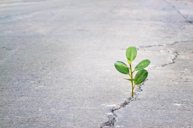Optimism flower growing in the street.
